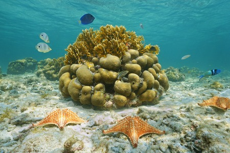 cushion sea star: Underwater marine life on a shallow seabed with starfish reef fish and corals Caribbean sea Mexico