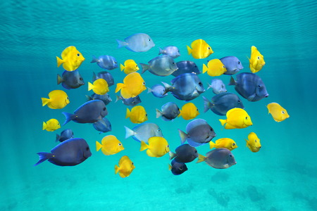 Colorful school of tropical fish, blue tang fish yellow are juvenile, below water surface, Caribbean sea Banque d'images