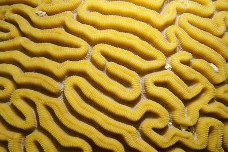 brain coral: Sea life, grooved brain coral labyrinth, Caribbean sea