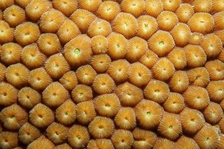 star of life: Underwater marine life, close up image of Great Star coral, Montastraea cavernosa, Caribbean sea Stock Photo