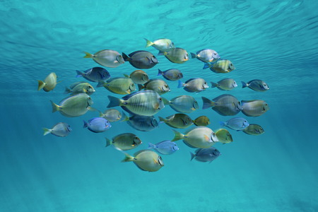 Tropical fish schooling doctorfish and surgeonfish below ripples of water surface in the ocean
