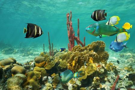 seabed: Coralli e pesci tropicali colorati sotto l'acqua su un fondale del Mar dei Caraibi poco profondo