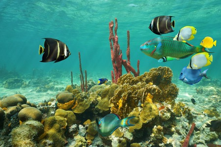 under water: Corals and colorful tropical fish under the water on a shallow seabed of the Caribbean sea Stock Photo