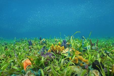 Onderwater op de oceaanvloer met zeegras en kleurrijke sponzen in de Caribische zee