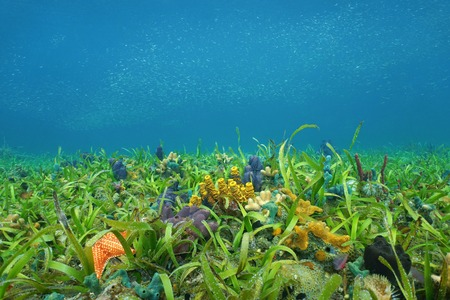 Underwater on the ocean floor with seagrass and colorful sponges in the Caribbean sea