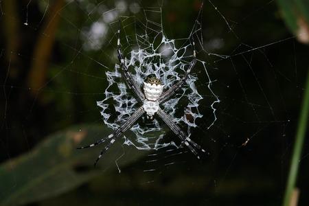 argiope: Silver argiope spider, Argiope argentata, on its web, Costa Rica, Central America Stock Photo