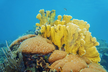 stony corals: Coral reef underwater with massive starlet and bladed fire corals, Caribbean sea