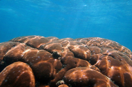 starlet: Sunlight on massive starlet coral underwater with blue water, Caribbean sea, natural scene