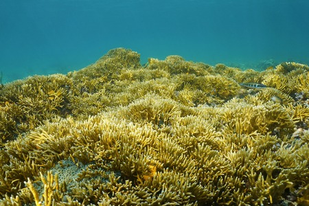 branching coral: Underwater landscape, seabed covered by colonies of branching fire coral, Millepora alcicornis, Caribbean sea, Panama, Central America Stock Photo