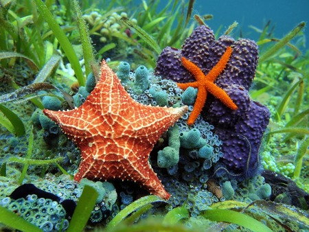 Starfishes underwater with a common comet star and a cushion sea star over colorful marine life, Caribbean sea