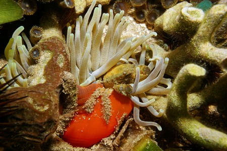 clinging: A green clinging crab underwater on a giant anemone, Caribbean sea, Costa Rica, Central America