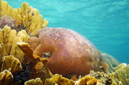 stony coral: Corals underwater with water surface in background, natural scene, Caribbean sea