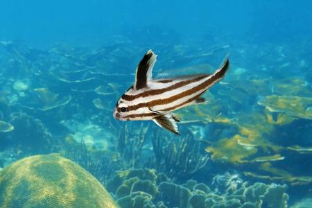 intermediate: High hat fish Pareques acuminatus in intermediate phase, Caribbean sea