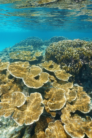 elkhorn coral: Coral reef underwater with elkhorn and fire corals, Caribbean sea, Mexico