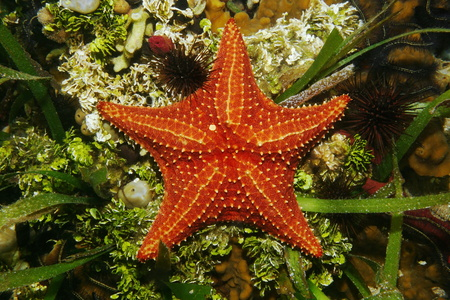 oreaster reticulatus: Cushion sea star underwater on the seabed viewed from above, Caribbean sea