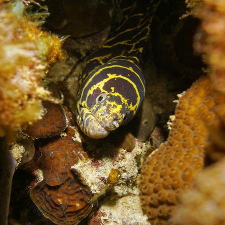 moray: Chain moray eel head underwater hidden in a hole of the reef, Caribbean sea Stock Photo