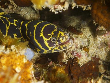 echidna: Head of chain moray eel, Echidna catenata, underwater in the Caribbean sea