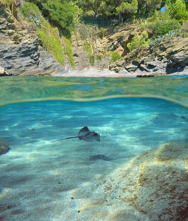 stingray: Above and below sea surface near the shore of a Mediterranean cove with a stingray swimming underwater, Costa Brava, Spain Stock Photo