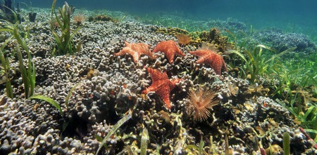 Underwater panorama of a shallow coral reef with starfish and colonies of branched finger coral, Caribbean sea