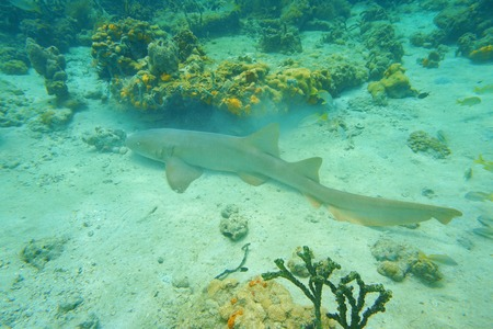 Nurse shark, Ginglymostoma cirratum, underwater on the seabed in the Caribbean sea, Mexico