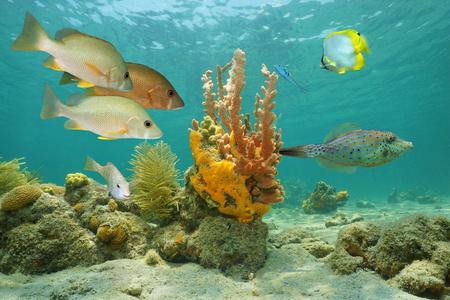 熱帯魚やカラフルな海のスポンジとカリブ海の水中の海洋生物 写真素材