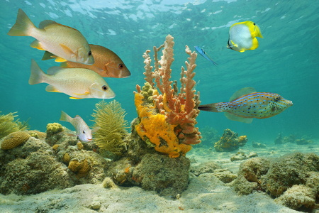 Underwater marine life in the Caribbean sea with tropical fish and colorful sea sponges