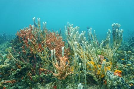 Underwater marine life, diversity of sea sponges on the ocean floor