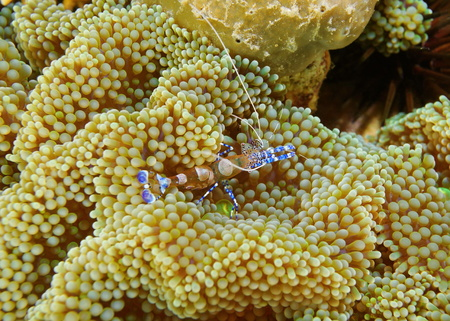 marine life: Underwater marine life, a spotted cleaner shrimp, Periclimenes yucatanicus, on a sea anemone, Caribbean sea