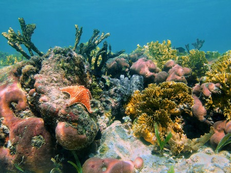 Underwater reef in the Caribbean sea with corals, sponges and a starfish, Mexico