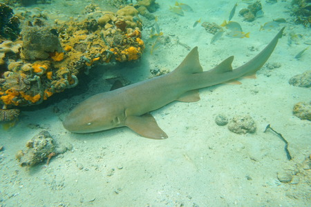Ginglymostoma cirratum, nurse shark underwater on the seabed of the Caribbean sea, Mexico