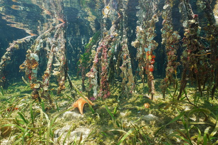 underwater: Marine life on the mangrove roots underwater, Caribbean sea, Panama Stock Photo