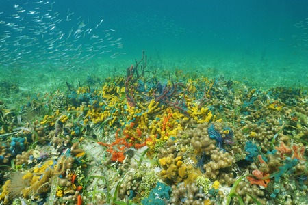 Colorful sea life underwater on the ocean floor, mostly sponges, Caribbean, Panama Stock Photo