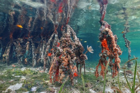 ecosistema: La vida marina en las raíces de los árboles de mangle rojo bajo el agua, el mar Caribe, Bocas del Toro, Panamá