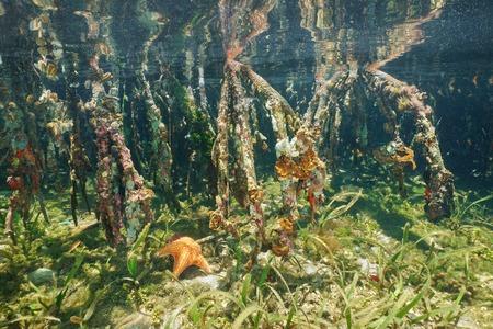 arbol raices: Raíces de los árboles de manglar del ecosistema subacuático, mar Caribe, América Central