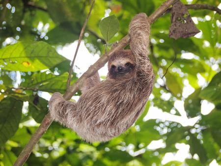 oso perezoso: Pareja marrón de cuello escalada pereza de tres dedos en una rama en la selva, Panamá, América Central