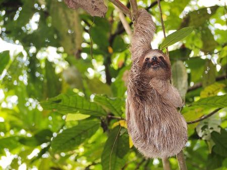 oso perezoso: pereza joven divertida que cuelga de una rama en la selva de América Central, Panamá Foto de archivo