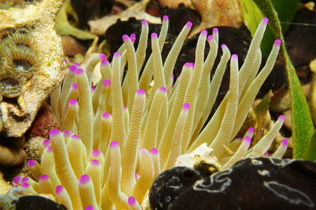 sea anemone: Sea creature, tentacles of giant Caribbean sea anemone, Condylactis gigantea, Mexico Stock Photo
