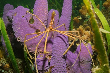 branching: Sea life underwater, a yellowline arrow crab on branching tube sponge, Caribbean sea