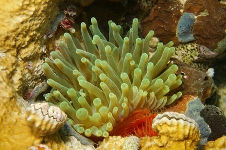 gigantea: Sea life, giant anemone, Condylactis gigantea, in the Caribbean sea, Panama