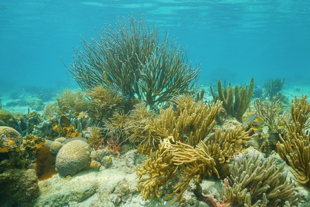 shallow water: Underwater corals, mostly Octocorals, in shallow water of the Caribbean sea