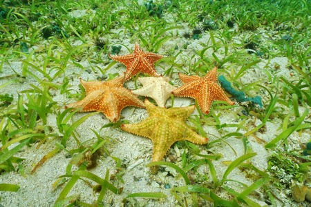 cushion sea star: Five Cushion starfish underwater with different colors on ocean floor with sand and sea grass, Atlantic ocean, Bahamas