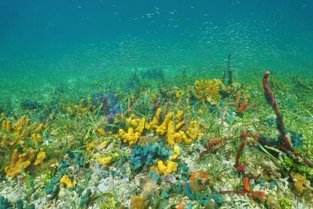 schooling: Seabed with colorful underwater marine life and juvenile fish schooling in background, Caribbean sea
