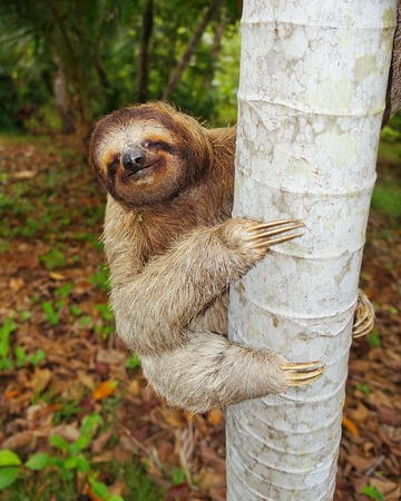 Funny brown-throated three-toed sloth climbing on tree trunk, Central America 免版税图像