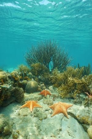 cushion sea star: Cushion sea stars underwater on a coral reef in the Caribbean sea, Costa Rica, Central America