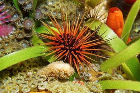 Underwater marine life, sea urchin Echinometra viridis, commonly called reef urchin, Caribbean sea, Central America