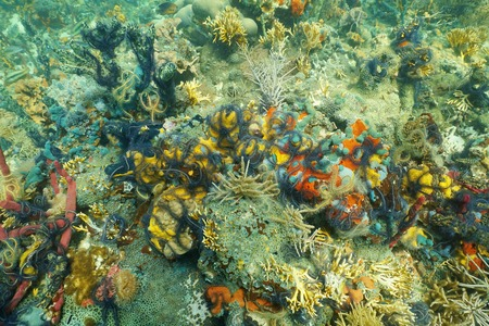 Colorful coral reef covered by underwater marine life composed by sponge brittle stars and zoanthids, Caribbean sea, Panama
