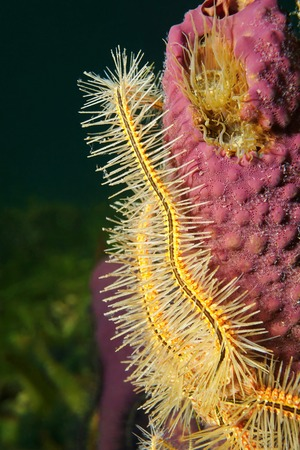 brittle: Close up of tentacle of a sponge brittle star, Ophiothrix suensoni, on branching tube sponge, Caribbean sea