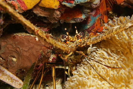 spiny lobster: Close up of a spiny lobster underwater hidden behind a sea anemone, Caribbean sea, Central America, Panama