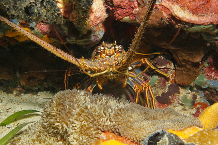 spiny lobster: A spiny lobster underwater hidden in a hole with a sea anemone, Caribbean sea, Central America