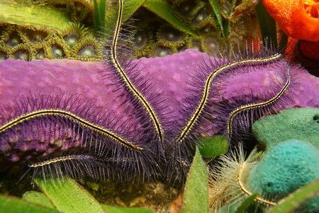 estrella de la vida: la vida marina bajo el agua, tentáculos de la estrella de mar de un Suenson más de esponja de colores, el mar Caribe